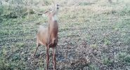 Bowhunting Deer: MOCK SCRAPES